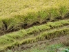 Rice ready for harvest